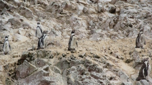 Penguins of Paracas